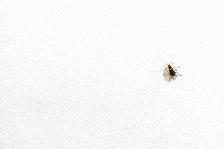 家にゴキブリの赤ちゃんが!早めに駆除すべき理由と対処法