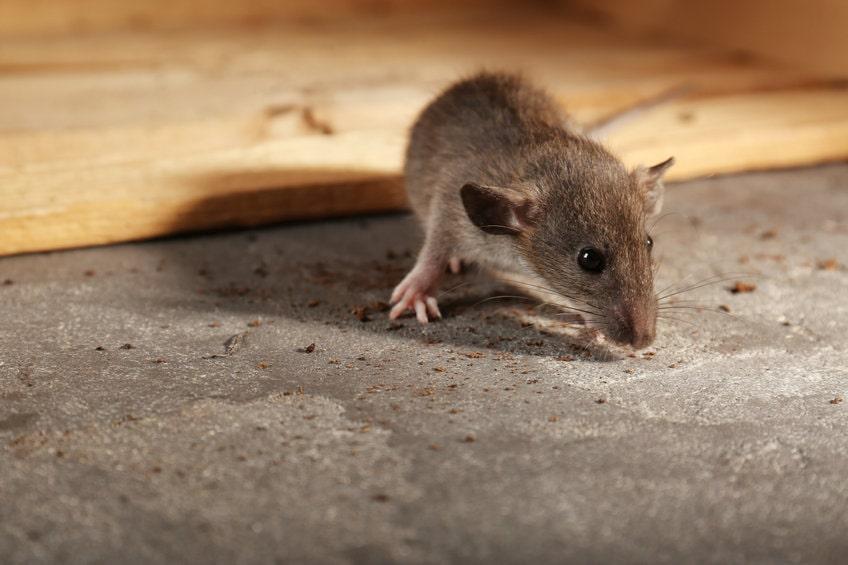 家に出るネズミの種類は3種類!特徴から対策を立てよう